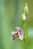 Ophrys minutula, Lesvos 2014-04-13
