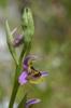 Ophrys homeri, Lesvos 2014-04-15