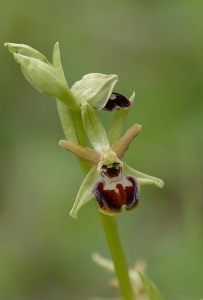 Ophrys ausonia, Abruzzo (It.) 2014-05-20