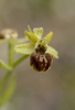 Ophrys classica, Abruzzo (It.) 2014-05-20