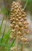 Neottia nidus-avis, Abruzzo (It.) 2014-05-22
