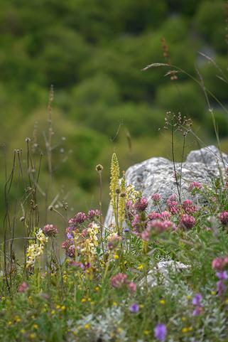 Bland klöver och andra vilda blommor skymtar Orchis anthropophora och pauciflora
