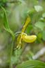 Cypripedium calceolus, Krokom 2012-06-24