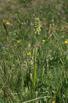 Pseudorchis albida subsp. tricuspis, Val D'aosta 2005-06-22