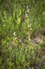 Ophrys appennina, Toirano (It.) 2013-05-24