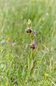 Ophrysholosericea subsp. paolina, Mt Sacro, Gargano (It.), april 2011-04-29
