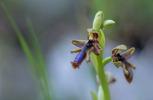 Ophrys regis-ferdinandii, Samos (Gr.) 2015-04-14