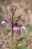 Himantoglossum comperianum, Lesvos (Gr.) 2015-05-17