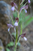 Himantoglossum comperianum, Lesvos (Gr.) 2015-05-15
