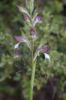 Himantoglossum_comperianum_16
