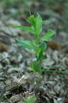 Epipactis densifolia, Lesvos 2015-05-15