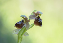 Ophrys bucephala x lesbis, Andissa, Lesvos (Gr.) 2014-04-14