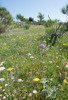 Neotinea tridentata, Gargano (It.) 2016-04-22
