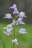 Cephalanthera longifolia x rubra, Bläse, Gotland, 2016-06-17