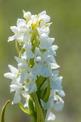 Dactylorhiza incarnata subsp. incarnata var leucantha, Gotland (Se.) 2016-06- 13