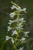 Platanthera bifolia subsp. latiflora, Hässleänget, Gotland 2016-06-17