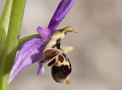 Ophrys polyxo, Rhodos 2011-04-11