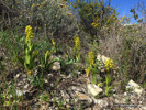 Orchis punctulata, Cypern 2016-03-03