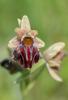 Ophrys mammosa, Samos (Gr.) 2015-04-13