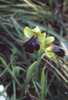 Ophrys iricolor subsp. maxima, Gargano 2000-04