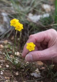 Narcissus baeticus