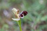Ophrys omegaifera subsp. basilissa, Kreta 2017-04-08