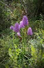 Borstnycklar, Orchis italica