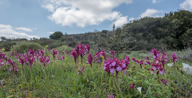 Fjärilsnycklar i stor mängd vid lokal 3, en och annan gul ofrys, Ophrys sicula, skymtas också