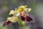 Ophrys creticola,Kreta 2017-04-09