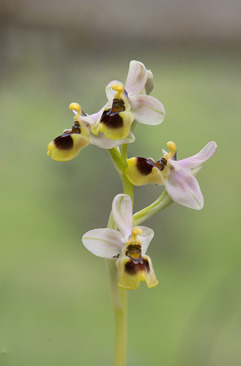 Ophrys tenthredinifera subsp. dictynnae