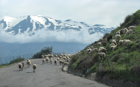 In spite of all fences we sometimes encountered herding sheep. Here with the mountain Ida in the background