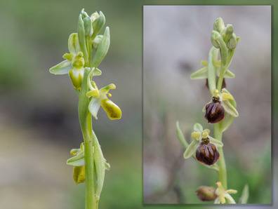 Ophrys sphegodes subsp. cretensis with an alba var. on the left and the normal to the right.