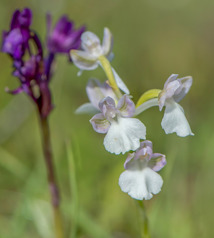 Anacamptis boryi var. alba. Behind is the normal color of this species