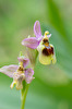 Ophrys tenthredinifera subsp. dictynnae, Crete 2017-04-05