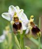 Ophrys dimidiata, Kreta 2017-04-05