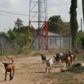 goats on the main street
