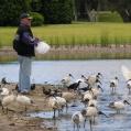 mata helig ibis2