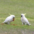 parrots eating