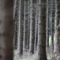 gråskog