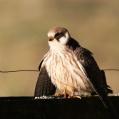Falco vespertinus - Aftonfalk
