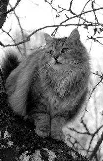Här har vi vår lilla söta fröken Sally. En mycket speciell katt med många egenheter i sina bästa år. Sommaren 2016 fyller hon 14år. Sally är stolt mor till de andra tre katterna på gården.
