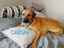 1 y o Caesar