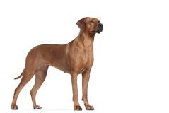 Honzina royal Canin