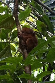 World's smallest primate -The Tarsier. On Bohol island in the Phillipines