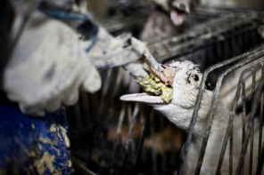 The Foie gras industry is horrible -don't eat this product!