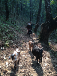 We walked up one of the mountains surrounding Pokhara, Nepal and met these cute goats and their owners. We were all alone in the forest and we also encountered some monkeys, butterflies, birds, spiders and other insects.