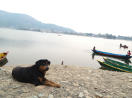 Beautiful dog by the lake of Pokhara, Nepal. Why breed so many new dogs and buy them from a kennel when there are millions of wonderful dogs all around the world who need a home..? Don't worry -you can find puppies too! No quarantine needed within Europe (or even when traveling Asia-Europe etc.).