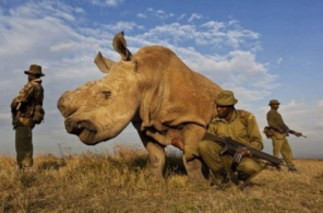 Almost extinct. In this national park in Africa, armed men gard this magnificent rhino from poachers. What has come of the world when this is what it takes to keep them protected?!