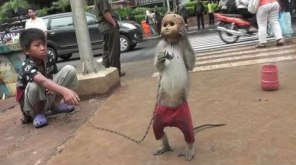 If you see monkeys like this -contact www.jakartaanimalaid.com and alert the nearest police office! Do not give them any money or try to buy the monkey!
