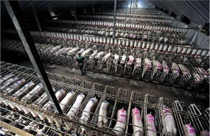 This is how most pigs, produced for meat, live.
